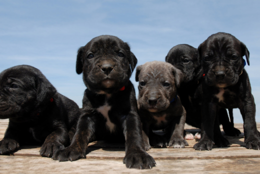 The Cane Corso: 4 Things You Need to Know