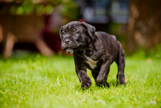 4 Tips to Prevent Aggression in Your Cane Corso